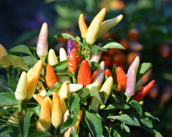 Perspectives On Nature Freshness Leaf Nature Green Color Plant Growth Food Food And Drink Vegetable Healthy Eating No People Close-up Day Beauty In Nature Flower Outdoors Flower Head Colorful Peppers 🌶 Garden Purple Orange Color Yellow Color Edible Plants Ornamental Peppers