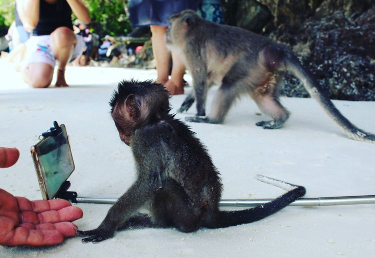 The Week On EyeEm Mammal Human Hand Monkeys Monkey Baby  Monkeybeach Thailand Sand Selfie ♥ Selfiestick Android Cellphone Samsung Gold Technology Generation Nature Animal Wildlife Fluffy Metallic Curious Two Monkeys