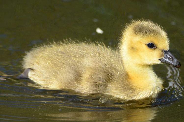 Animal Themes Animal Wildlife Animals In The Wild Beak Bird Close-up Cygnet Day Duckling Gosling Lake Nature No People One Animal Outdoors Side View Swan Swimming Water Water Bird Waterfront Yellow Young Animal Young Bird