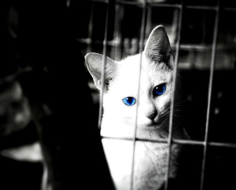 Cat Blue Eyed Cat Nikon Collection Eyeem Philippines Nikond90 Nikonphotography Pets