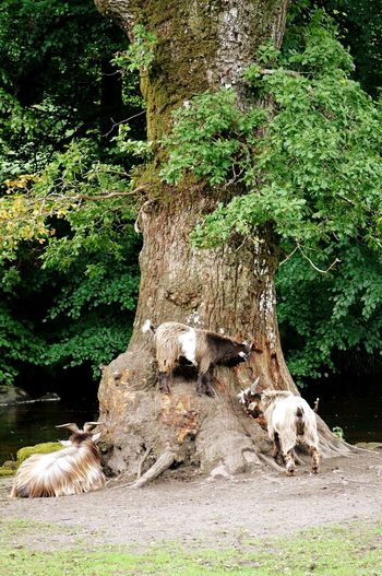 Goats Baby Goats Animals Nature Small Grass Trees Badger Holt Devon River