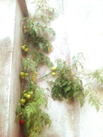 Pianta di pomodoro Plant Cuore❤ Nature