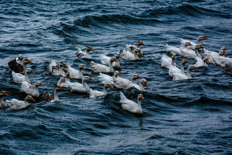 High angle view of ducks swimming on sea