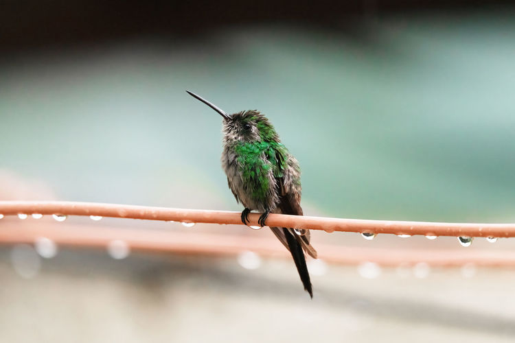 Close-up of hummingbird perching on wire