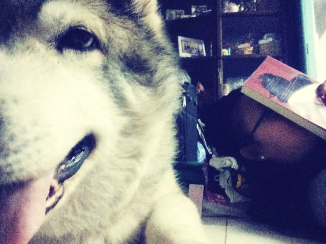 Afternoon Nap with my Personal Body Guard Cute Dog Siberian Husky