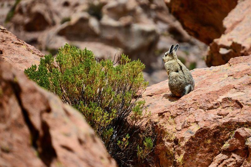 Viscacha in Eduardo Avaroa National Reserve in Bolivia Andes Eduardo Avaroa National Reserve Rocky Animal Themes Animal Wildlife Animals In The Wild Close-up Day Mammal Nature No People One Animal Outdoors Perching Rabit Rock - Object Viscacha Wildlife