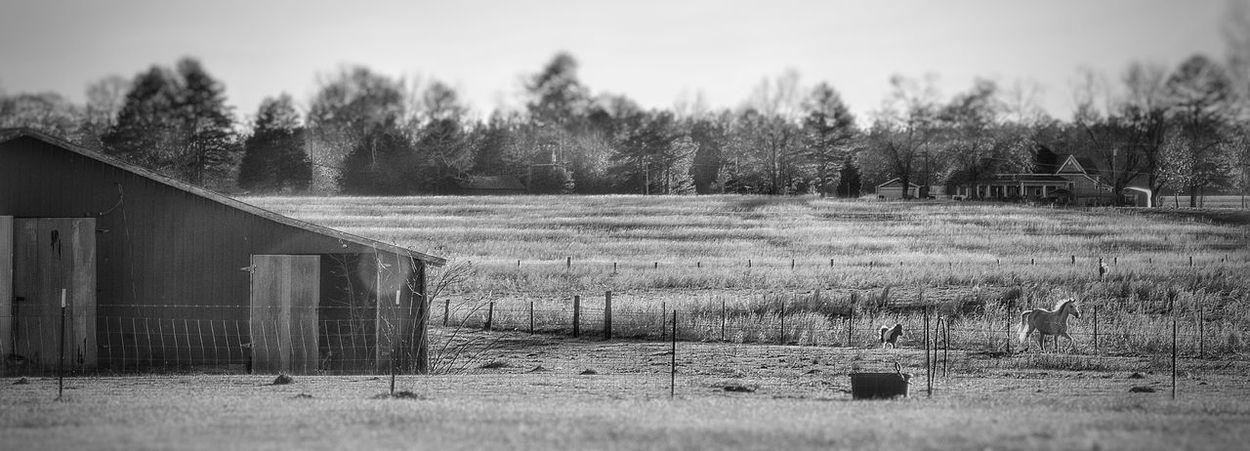 Agriculture Barn Black And White Cold Day Farm Fence Field Grass Grassy Horse Landscape Outdoors Running Horse Rural Scene Tree