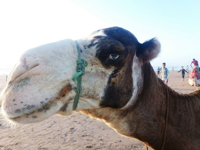 Eye Chameau Eyes Regard Triste Domestic Animals Animal Themes One Animal Mammal Animal Sand Outdoors Day First Eyeem Photo An Eye For Travel
