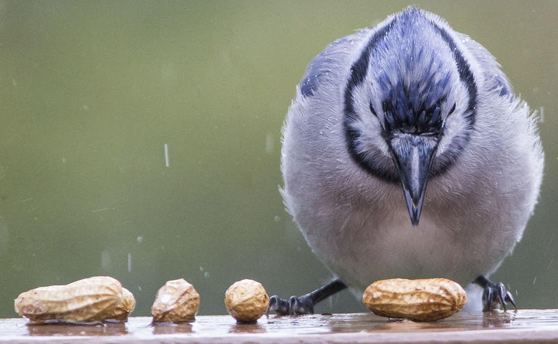 Choices About To Eat Looking Down Peanuts Thinking Animal Animal Themes Animal Wildlife Animals In The Wild Bird Bird In The Rain Bird Looking Down Blue Jay Bird Brd In The Rain Choices Nature No People One Animal Water Wet Bird