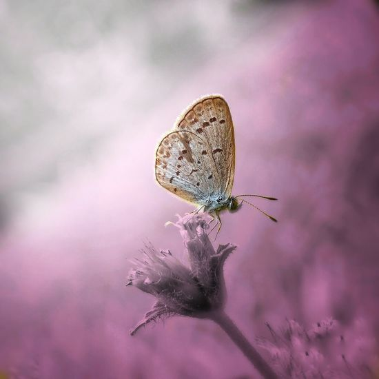 Insect Flower Tranquility Purple Nature Fragility No People Plant Uncultivated Focus On Foreground Butterfly - Insect Animal Wildlife Close-up Animals In The Wild Pink Color Perching Defocused Outdoors Animal Themes Beauty