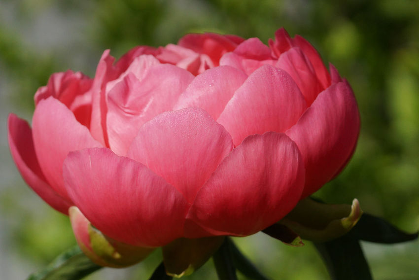 Peony Pink Hawaiin Coral, Paeonia lactiflora Beauty In Nature Bloom Blooming Blooming Flower Blossom Blossoming  Botanic Close-up Day Flora Flower Flower Head Fragility Freshness Garden Gardening Nature No People Outdoors Paeonia Lactiflora Peony  Petal Pink Color Plant