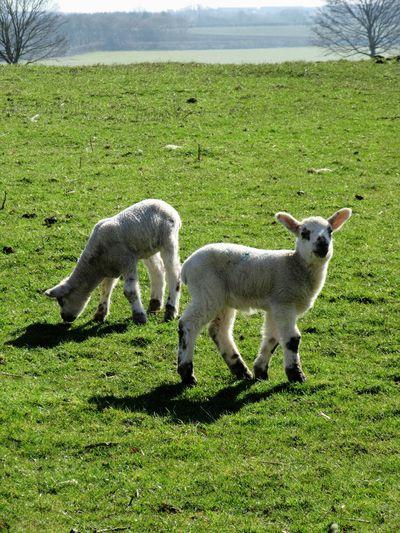 Lambs Animal