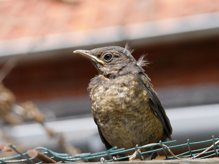 Blackbird fledgling Animals Animals In The Wild Bird Blackbird Close-up Fledgling Macro Nature No People Outdoors Perching The Great Outdoors - 2017 EyeEm Awards EyeEm Best Shots Animal Themes Exceptional Photographs Taking Photos Young Animal Check This Out Hatchling