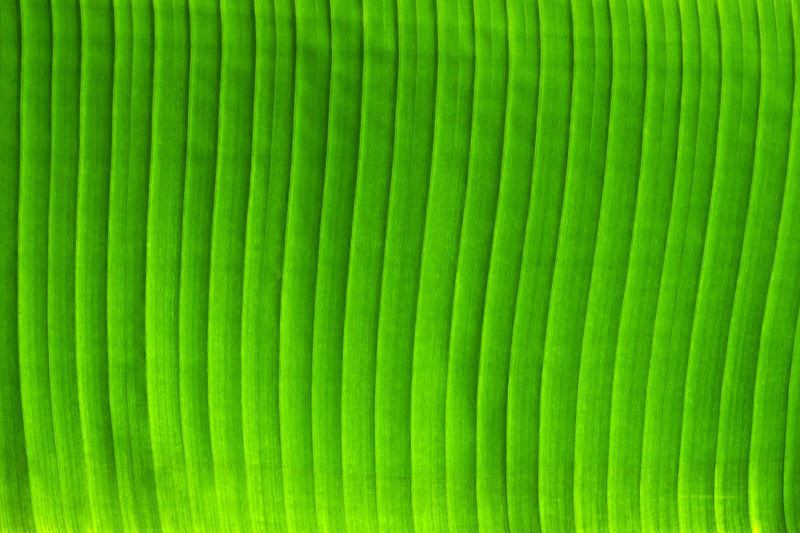 Background of green palm leaf Green Color Backgrounds Full Frame No People Pattern Close-up Textured  Striped Vibrant Color Nature Leaf Abstract Beauty In Nature Plant Part Natural Pattern Palm Leaf Leaf Vein Tropical Texture Greenery