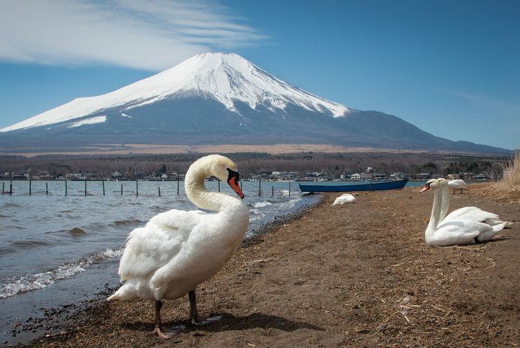 Swans on lake shore against mountain range