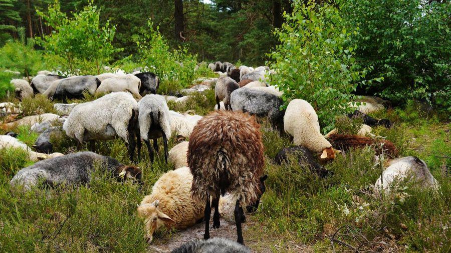 Flock of sheep grazing in lüneburg heath