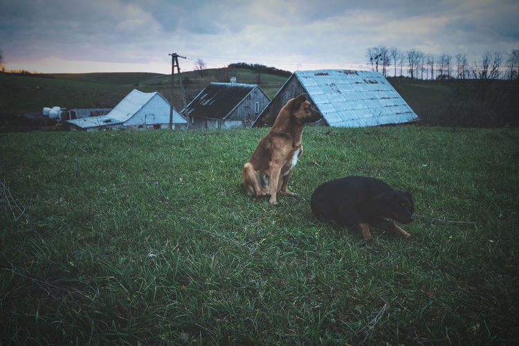 Dogs On Grassland