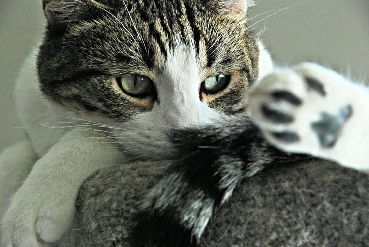 Cat kitten Dexter rest paws Cat, Pets, Animal Kitty Cat Lovers Cats Of EyeEm Cat Photography Housecat