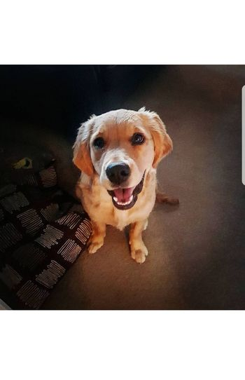 Dog Pets One Animal Domestic Animals Animal Themes Portrait Mammal Looking At Camera No People Day Outdoors Close-up Golden Retriever Smiling Cute Pets