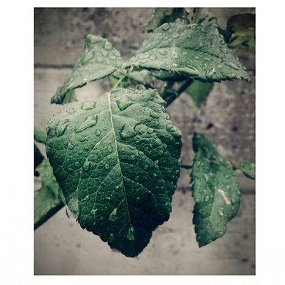 ~ Pioggia Pioggiaestiva Rain Leaf Leafs Natura Nature Naturelovers Green Soymix Agosto e Piove Felicità Happy Estate2015 Estate Summer Summertime