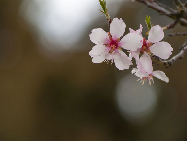Agriculture Almond Tree Almond Tree In Blossom Copy Space EyeEm Best Shots EyeEmNewHere Backgrounds Beauty In Nature Blooming Blossom Botany Cherry Blossom Cherry Tree Close-up Color Day Delicacy Delicate Environment Floral Floral Frame Flower Flower Head Flowering Plant Flowerporn Fragility Freshness Fruit Tree Fruit Trees Growth Inflorescence Nature No People Orchard Outdoors Petal Pink Color Pink Flower Plant Plantation Pollen Spring Springtime Tree Vulnerability  White Color