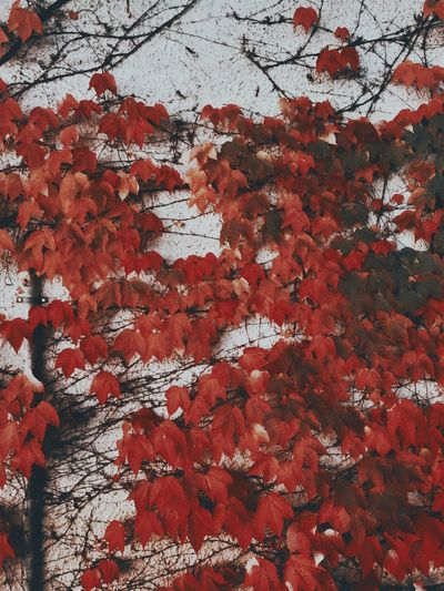 cool...ors Leaves Backgrounds Full Frame Red No People Pattern Day Wall - Building Feature Textured  Outdoors Weathered Art And Craft