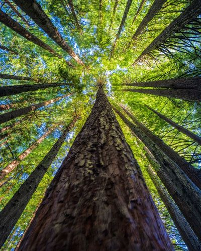 Californian Redwoods in the Great Otway National Park Tree Trunk Tree Nature Growth Low Angle View Forest Day Beauty In Nature Outdoors No People Scenics Branch Sky EyeAmNewHere Eye Em Nature Lover EyeEm Best Shots EyeEm Nature Lover EyeEmNewHere Great Ocean Road Victoria Apollo Bay Cape Otway Californian Redwood