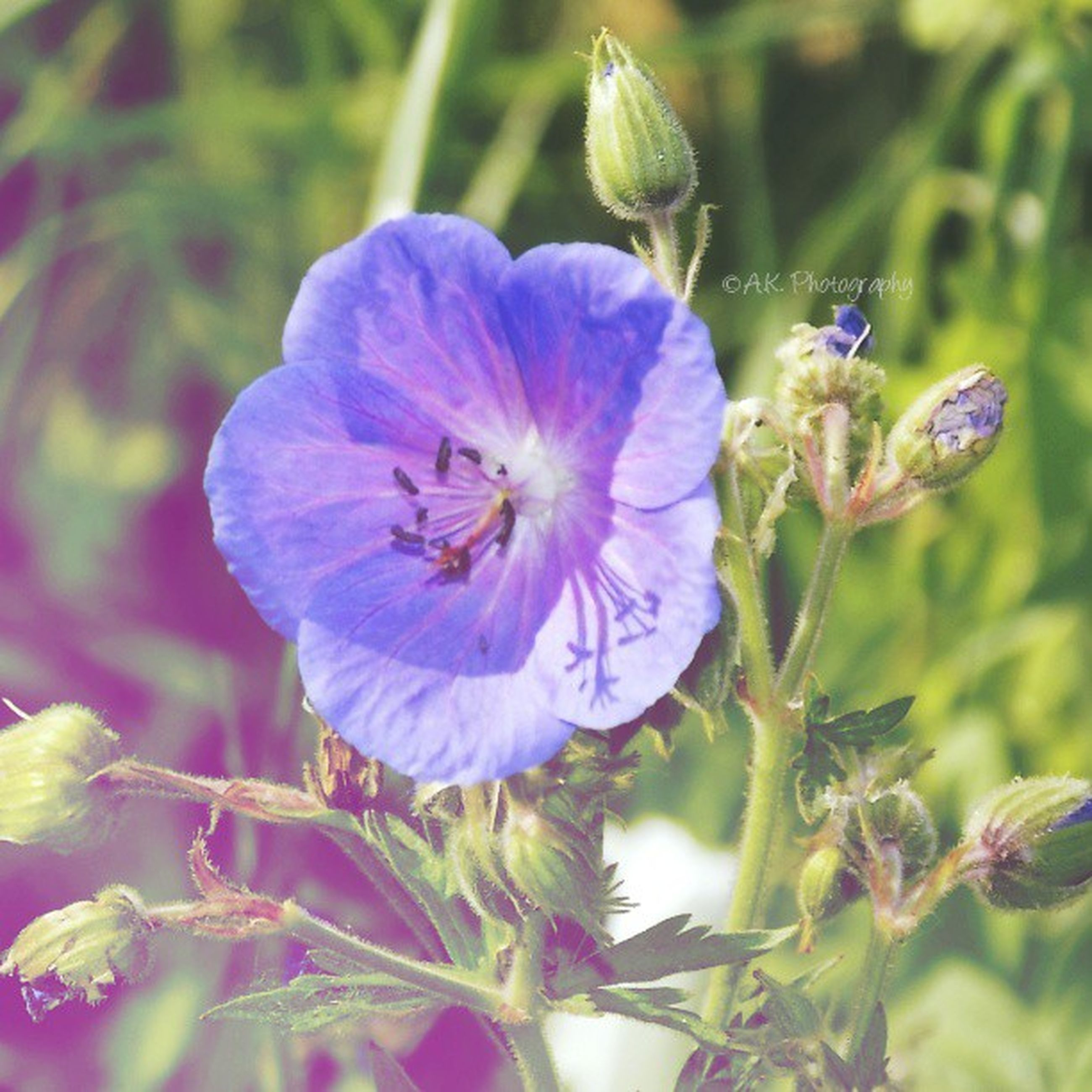 flower, freshness, purple, petal, fragility, growth, flower head, focus on foreground, close-up, beauty in nature, blooming, nature, plant, in bloom, stem, single flower, pollen, day, outdoors, blossom