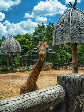 Spotted In Thailand Bangkok Thailand Giraffe Zoo Dusit Zoo Summer Travel Photography Travel Animal EyeEm Best Shots EyeEm Nature Lover Done That.