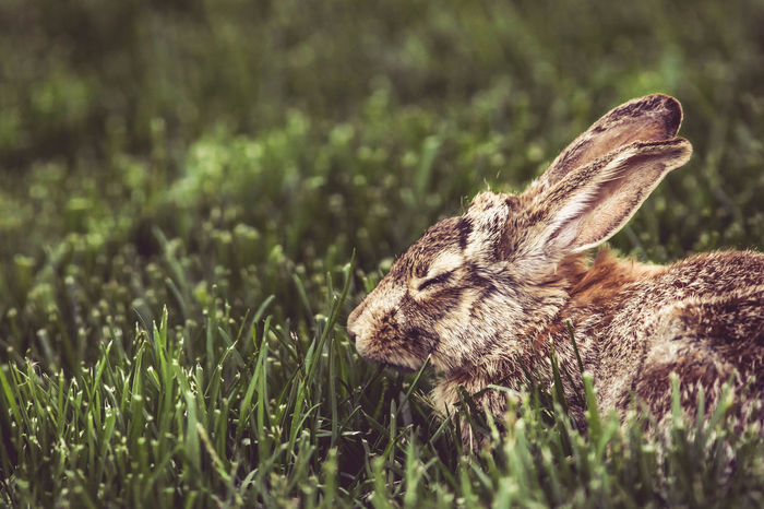 Animal Animal Themes Animal Wildlife Animals Animals In The Wild Animals In The Wild Close-up Day Ears Field Floppy Furry Fuzzy Grass Mammal Nature Nature Nature Photography Nature_collection Naturelovers No People One Animal Outdoors Rabbit Wild