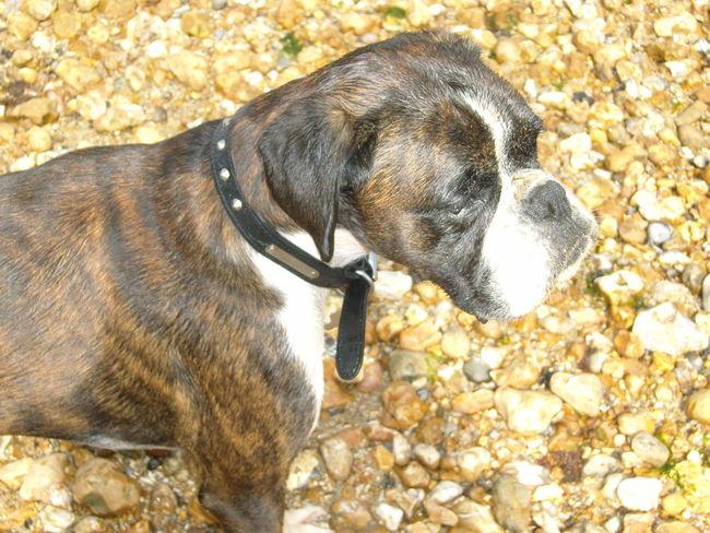 Boxer At Beach Boxer Dog Boxer Dog Close Up Brindle Boxer Dog Dog Domestic Animals One Animal Outdoors Pets