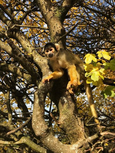 Monkeylove 🐒 EyeEm Best Shots Lovely Magical Love Skullmonkey Totenkopfäffchen Monkey Affe Primate Tree Animal Wildlife Mammal One Animal Animals In The Wild Plant No People Branch Nature Vertebrate Sunlight Day Low Angle View Outdoors