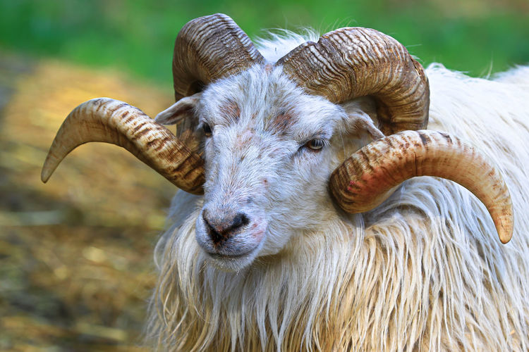 Strong horns Goats Animal Animal Head  Animal Themes Animal Wildlife Close-up Day Domestic Domestic Animals Field Focus On Foreground Herbivorous Horned Livestock Mammal Nature No People One Animal Outdoors Pets Vertebrate