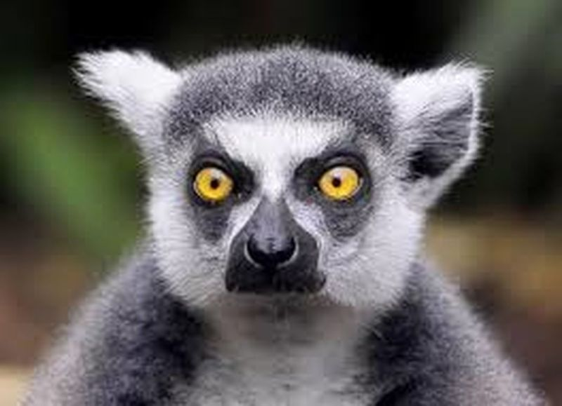 One Animal Animal Themes Looking At Camera Portrait Wildlife Close-up Animals In The Wild Lemur Black Color Front View Selective Focus Animal Head  Alertness Focus On Foreground Mammal Whisker Animal Nose Day Animal Hair Extreme Close Up