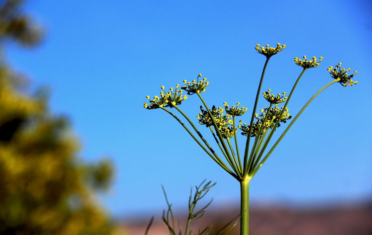 Dill Flowers Beauty In Nature Blue Clear Sky Close-up Day Flores De Eneldo Flower Flower Head Flowering Plant Focus On Foreground Freshness Growth Nature No People Outdoors Petal Plant Sky Sunlight