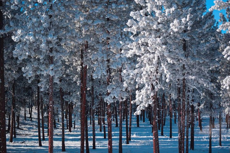 Panoramic shot of pine trees on snow covered land