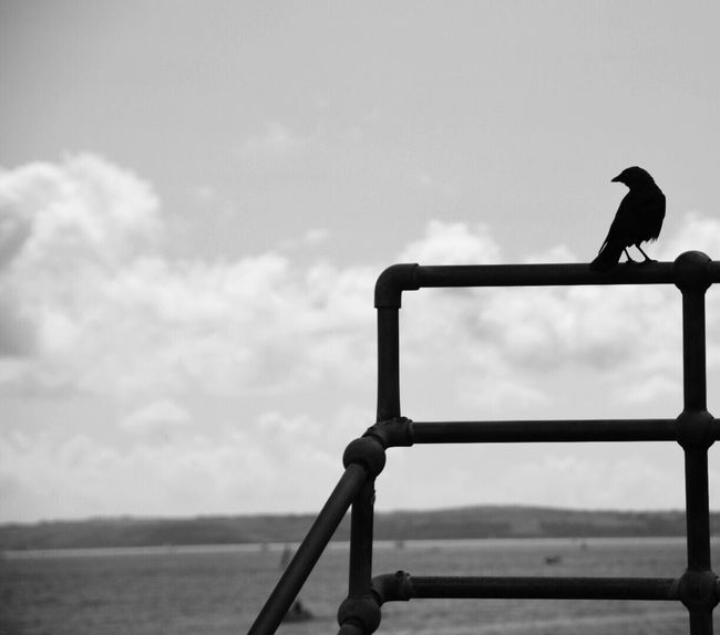 Bird Day Sky Outdoors Perching Animals In The Wild One Animal Nature Animal Themes No People Cornish Town Harbour Crow Monochrome Black And White Photography Sea Cornwall Uk Kernow Quayside