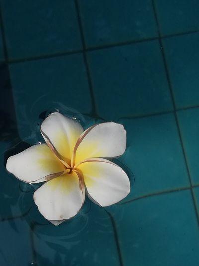 High angle view of white frangipani on floor