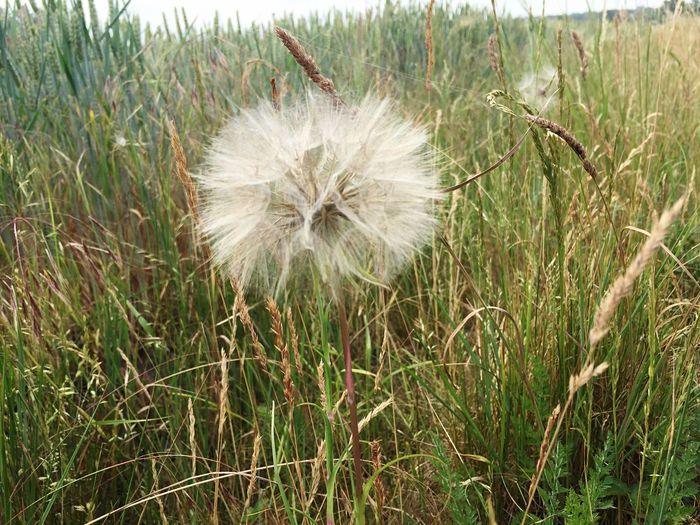 Plant Dandelion Fragility Growth Flower Vulnerability  Beauty In Nature No People Nature