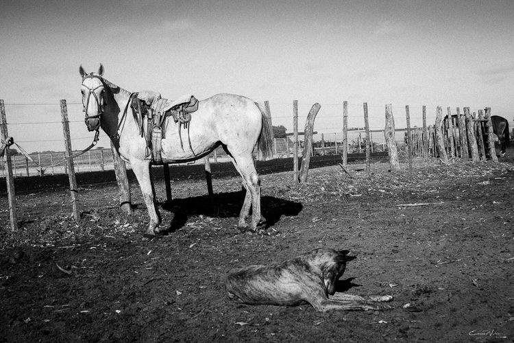 Argentina Photography Blackandwhite Photography Campo Argentino Domestic Animals Gaucho Argentino Gauchos Hombre De Trabajo Horse Man And Horse Trabajo De Machos  Trabajo Duro Vidagaucha