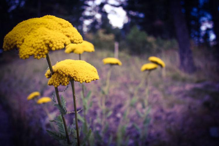 Yellow wildflowers growing on field