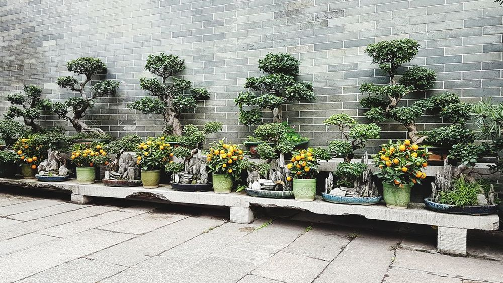 Outdoors Day No People Plant Growth Nature Greenhouse China Freshness Bonsai Tree Bonsai Garden Tangerine Zen Tangerine Tree