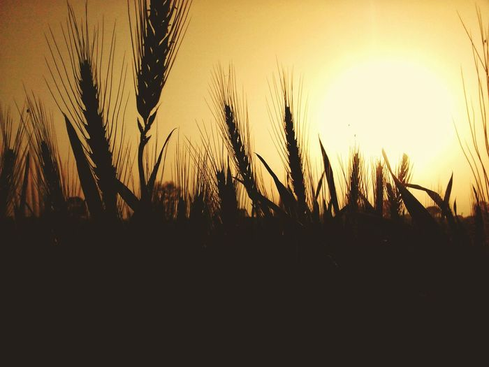 the sunset Food Sunset Yellow Sun Sky Wheat Crop  Landscape Outdoors Sunset Rural Scene Cereal Plant Agriculture Silhouette Sky Close-up Plant Reed - Grass Family Tall Grass Farmland Ear Of Wheat Shining