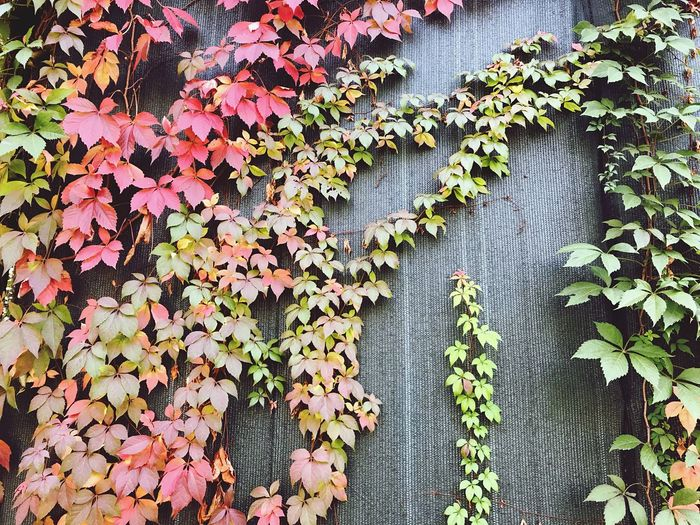 Textured  Leaf Plant Ivy Creeper Growth Autumn Creeper Plant Outdoors Nature Day No People Beauty In Nature Architecture Foliage Autumn Mood