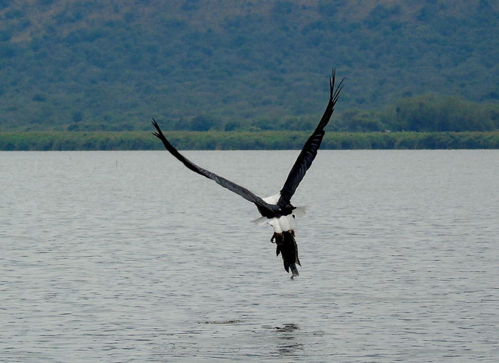 African fish eagle with fish in flight African Fish Eagle In Flight Eagle African Fish Eagle Animal Animal Themes Animal Wildlife Animals In The Wild Beauty In Nature Bird Bird In Flight Day Eagle Fish Eagle Fish Eagle With Fis Fishing Flying Lake Mid-air Nature No People Non-urban Scene One Animal Spread Wings Water Waterfront