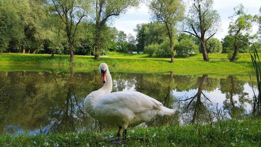 Swan Skawina Polska Poland Nature Photography Nature Naturelovers Naturelover Animals Summer Naturephotography Park Beautiful Nature Bird EyeEm Best Shots EyeEm Nature Lover EyeEm Best Shots - Nature EyeEm Animal Lover