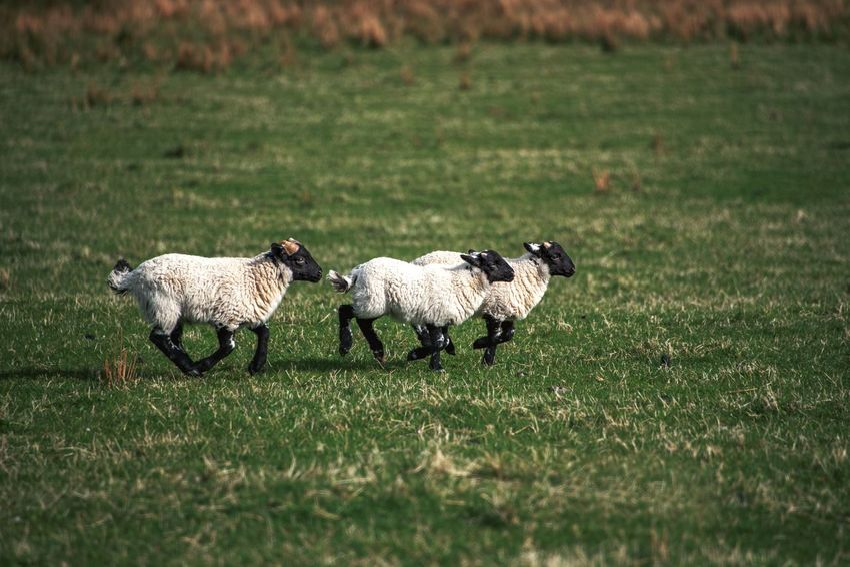 Running Lamb Scotland Animal Animal Family Animal Themes Domestic Domestic Animals Field Grass Group Of Animals Herbivorous Land Livestock Mammal Nature Sheep Three