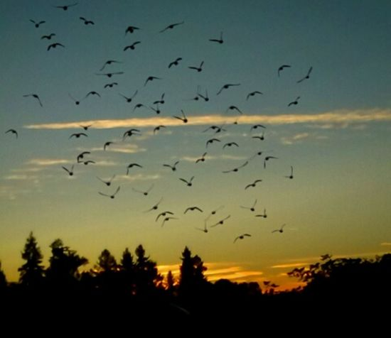 Large Group Of Animals Flock Of Birds Bird Flying Animals In The Wild Silhouette Sunrise Animal Wildlife Animal Themes Nature Mid-air Group Of Animals Motion Rural Scene Scenics I💜oregon Bird Photography Getty Images Sunlight EyeEm Gallery Sunrise_Collection Gold Colored Golden Moments  I ❤Oregon I LOVE PHOTOGRAPHY Colour Your Horizn