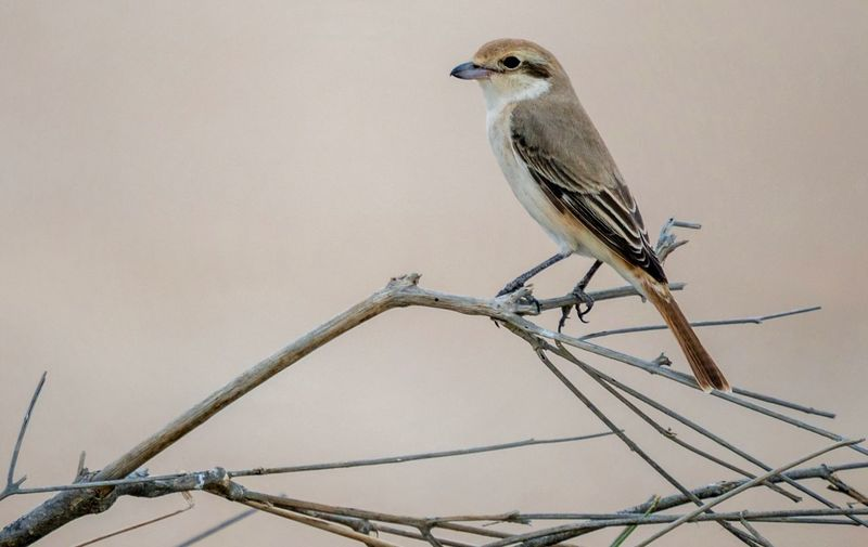 The isabelline Shrike Bird Animal Themes Animal Animal Wildlife Vertebrate One Animal Animals In The Wild Perching Low Angle View Clear Sky Nature Sky Full Length Focus On Foreground Branch