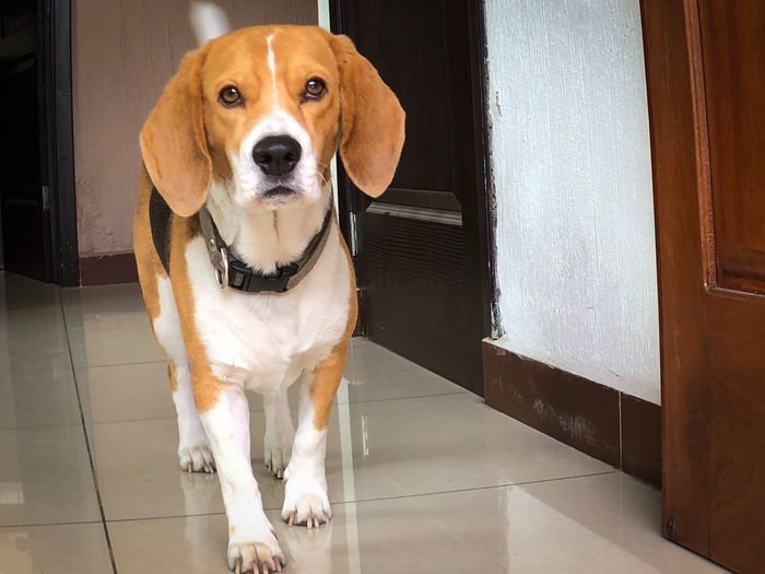 EyeEm Selects One Animal Canine Dog Pets Domestic Mammal Domestic Animals Portrait Looking At Camera Vertebrate Indoors  Beagle Home Interior Front View Flooring